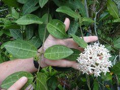 Резултат с изображение за Hoya elliptica