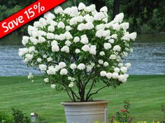Hydrangea Little Lamb - Perfect long-flowering hedge plant for shade! Great with Ornamental Grasses, Sedums, KnockOut Roses. -** front yard landscape **