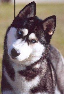 Black White Blue Eyed Siberian Husky Beauty Icepower Dark