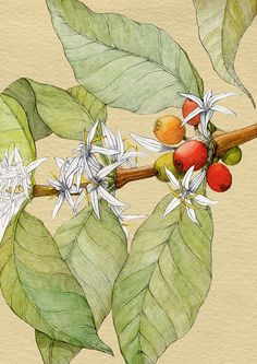 the month of April in i was asked by advertisement agency from Lithuania (MILK) to create an old looking, botanical drawing of coffee plant. The drawing size is done by pencil, watercolour and finished in photoshop. Coffee Artwork, Coffee Painting, Plant Painting, Plant Drawing, Coffee Illustration, Plant Illustration, Botanical Drawings, Botanical Prints, Coffee Plant