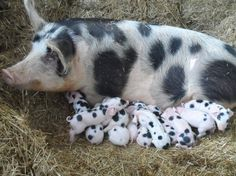 Pig and piglets or Dalmatian puppies? Pet Pigs, Baby Pigs, Baby Goats, Farm Animals, Animals And Pets, Cute Animals, Beautiful Creatures, Animals Beautiful, Cute Piggies