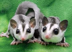 12 questions to ask yourself before getting a sugar glider for