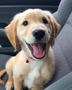 Golden Retriever puppy in car smiling