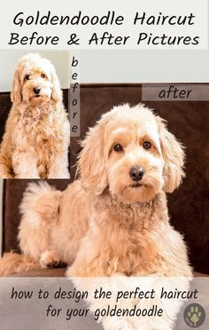Goldendoodle haircut before and after pictures! #goldendoodlehaircut #goldendoodlegrooming #goldendoodlepictures #doggroomingtips
