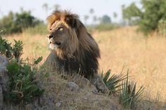 Dynamite: The Livingstone Lion - From The Amazing Zambezi Traveller (ZT 08, March 2012) - http://zambezitraveller.com/hwange/conservation/travelling-lion-turns-spotlight-species (Image credit Andrew Loveridge