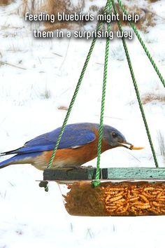Feeding bluebirds might help them in a surprising way Simple Greenhouse, Farm Cookies, Raising Goats, Wild Bird Feeders, Penguin Craft, Viewing Wildlife, Chicken Breeds, Backyard Birds, Wild Birds
