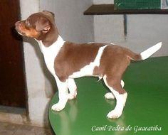 TERRIER BRASILEIRO (FOX PAULISTINHA) Canil Pedra de Guaratiba - Desde 1990! FILHOTES DISPONÍVEIS!  Canil: http://canilpedradeguaratibatb.blogspot.com.br #canilpedradeguaratiba  #foxpaulistinha  #terrierbrasileiro