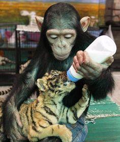 """Do Do, two year old chimp, feeding """"her"""" tiger cub.  Precious!!"""