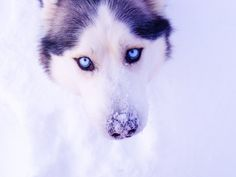 Hd Wallpapers Gorgeous Husky Cute Wolf With Blue Eyes
