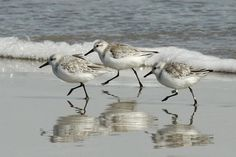 """Tails of Birding: Sanderling - a """"True"""" Sandpiper"""
