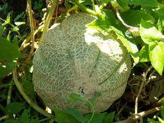 Les secrets de la taille et de la greffe des arbres - Culture du melon charentais ...