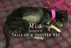 Mia - Vet Suspects Animal Neglect, Officers Investigate Dying Dog - Tail...