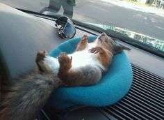 Squirrel relaxing in car