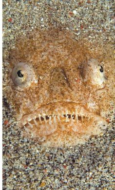 Stargazers (family Uranoscopidae) are venomous ambush predators that have eyes on the top of their heads. They bury themselves beneath the sand and use a worm-like lure to tempt prey close to their mouths, launching an attack when the prey is within striking distance.