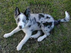 I love these kind of dogs ❤️ Border Collie Blue Merle, Blue Merle Sheltie, Border Collie Puppies, Collie Mix, Cute Baby Puppies, Cute Dogs, Dogs And Puppies, Doggies, Corgi Puppies