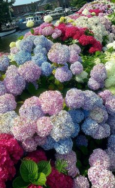Beautiful Flowers Pictures, Flower Pictures, Amazing Flowers, Pretty Flowers, Colorful Flowers, Hortensia Hydrangea, Hydrangea Garden, Hydrangea Flower, Hydrangeas