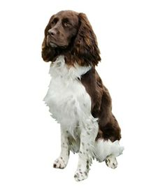 The #FrenchSpaniel is friendly and outgoing. They are extremely sociable and happiest when around people. They are very good with kids and are excellent playmates. French Spaniels are very active and need lots of daily exercise in the form of long walks, runs or games to stay happy. They are eager to please and therefore easy to train. If they don't get enough exercise they may become bored or destructive. French Spaniels are usually friendly towards other pets and people they don't know.