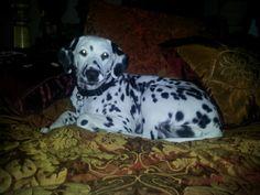 Dalmatian Mina