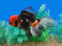 Aquarium Filters And Aquarium Supplies Planted Aquarium, Aquarium Fish, Ryukin Goldfish, Goldfish Tank, Aqua Culture, Persian Cats, Plum Flowers, Koi Carp, Tropical