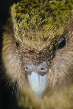 Kakapo or Owl Parraot - native to new Zealand the kakapo is a nocturnal bird and the only flightless parrot in the world. 2010 there were critically endangered with only 100 known birds left Flightless Parrot, Kakapo Parrot, Nocturnal Birds, Toucan, Rare Birds, Extinct Animals, Cockatoo, Bird Species, Bird Feathers