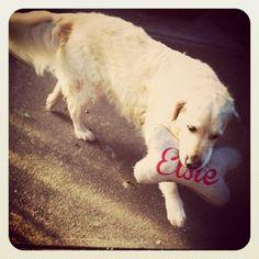 Elsie golden retriever with her custom made dog toy