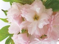 Cherry Blossom.. The soft blush of romance. Cherry blossoms are delicately blended with jasmine, freesia and a whisper of fruit. www.partylite.biz/ambercory #candles #partylite #tealights  #votives #scentplusmelts #escential jar #3wickjar