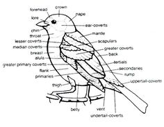 wonderful drawing of a bird identifying the parts of their