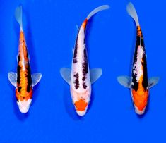 1000 images about koi fish on pinterest fish hatchery for Kumonryu koi fish