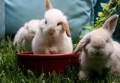 Lop ear bunnies!