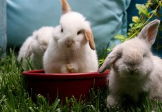Lop babies are so cute. I love that their ears stick out the sides of their heads!