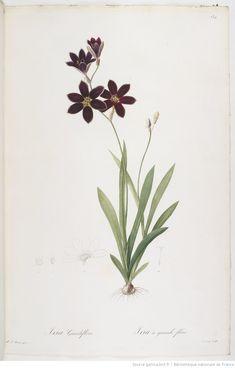 Les Liliacées. Tome 3 / , par P.-J. Redouté Auteur : Redouté, Pierre-Joseph 1807