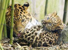 Leoparda limpando seu filhotinho