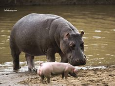 hippo-and-pig