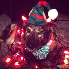 The Cutest Pets on Twitter This Week!   SHINING MOMENT   Wednesday's champ, Rolo, needs to look on the bright side: He won #cutepic honors because of this getup.