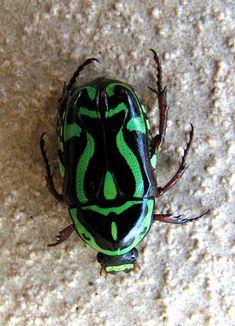 Fiddler Beetle.