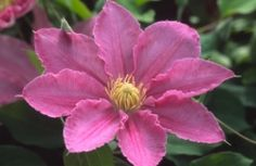Abilene  available from Taylors Clematis    How to prune frilly purple clematis - cut off to the knee in March each year.