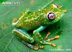 frogs pictures | Barbour's forest tree frog videos, photos and facts - Leptopelis ...