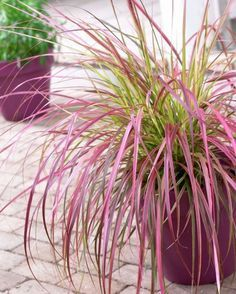 Variegated Purple Fountain Grass Fireworks, Pennisetum, Variegated Purple Fountain Grass - Perennials from American Meadows Perennial Grasses, Ornamental Grasses, Spring Perennials, Pennisetum Setaceum, Container Plants, Container Gardening, American Meadows, Fountain Grass, Fountain Garden