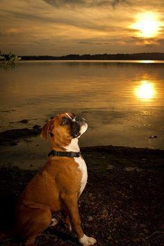 So beautiful #Boxer! More