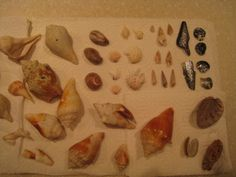 various shells found on Sanibel Island, FLA