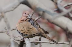 Laughing Dove by Imran  Ahmad on 500px
