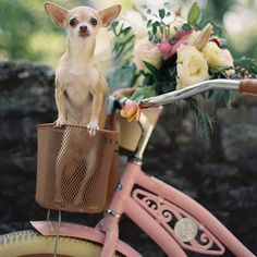 This Valentine's Day inspiration features a pink bicycle, red and pink blooms and the sweetest chihuahua you ever did see. Cute Chihuahua, Teacup Chihuahua, Chihuahua Puppies, Chihuahuas, Baby Animals, Funny Animals, Cute Animals, Spring Animals, Fendi