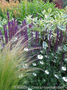 Salvia nemorosa 'Caradonna'Salvia:   'Caradonna' with Stipa tenuissima, Nigella 'Cramer's Plum' and Cornus sericea 'Silver and Gold' at Hayefield