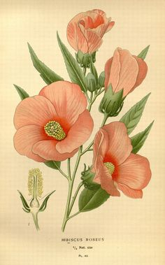 Hibiscus,  London and New York :Frederick Warne co.,1896-97