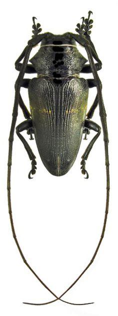 Zographus aulicus