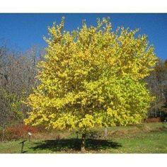 Osage Orange Fruit Tree 15 Seeds use for Bonsai or - Modern Garden Seeds, Planting Seeds, Fast Growing Trees, Tree Seeds, Orange Fruit, Love Garden, Types Of Soil, Fruit Trees