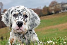 Picture of English Setter breeder in the mountains of North Carolina stock photo, images and stock photography. Pet Dogs, Dogs And Puppies, Dog Cat, Doggies, Animals Images, Cute Animals, English Setter Puppies, Bluetick Coonhound, Norwich Terrier