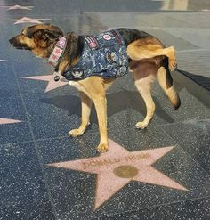 Showing POTUS the proper respect. Dog lifting a leg on top of the Donald Trump star on the Hollywood Walk of Fame. Donald Trump, Caricature, Funny Memes, Hilarious, Jokes, Political Cartoons, Political Satire, Best Dogs, Animals