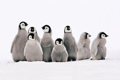Photo by @FransLanting // They look adorable, but these emperor penguin chicks are hardy survivors as well. They are just a few weeks old, and yet they are already spending time on Antarctic sea ice without parents hovering over them constantly. When their parents go to sea to find food for their offspring, chicks gather in groups and together they go out exploring their surroundings, as they are doing here. When it gets cold they huddle together, just like their parents do when conditions…