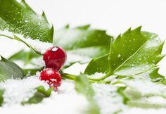 Wallpaper holly, berry, snow, leaf, macro